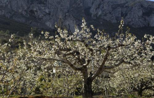 COSTA BLANCA LA VALL D´Alcalá Cerezos en flor