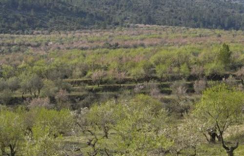 COSTA BLANCA LA VALL D´Alcalá FACHECA Campo de almendros