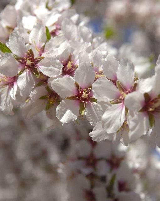 costa blanca benilloa bonitas hojas del almendro
