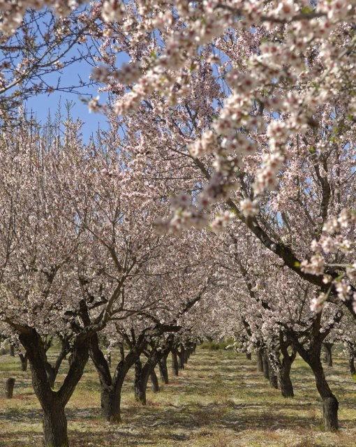 costa blanca benilloa preciosos almendros en flor
