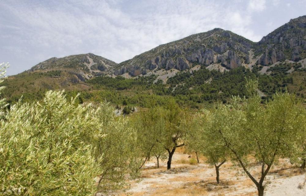 costa blanca comtat preciosos olivos verdes de quatretondeta