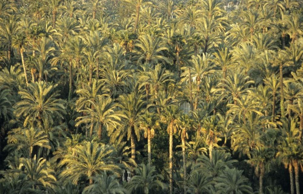 costa blanca elche el palmeral frondoso