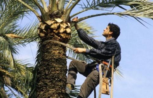 ELCHE Palmeral Cuidado de las palmeras