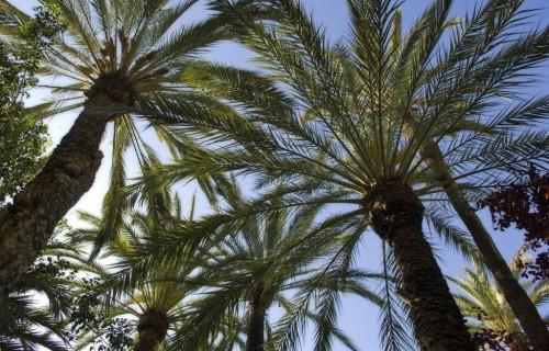 costa blanca elche palmeras con cielo azul