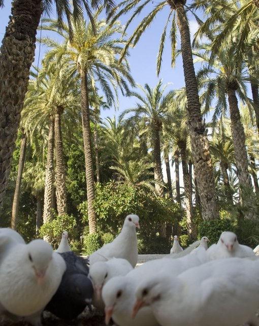 costa blanca elche palomas bajo las palmeras