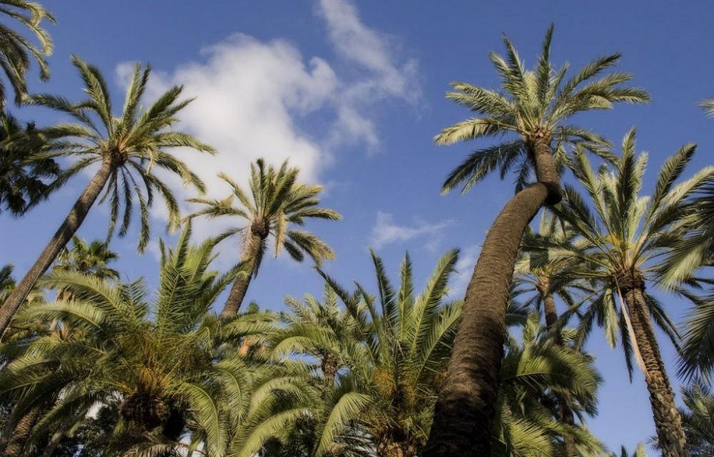 costa blanca elche preciosas palmeras bajo cielo azul