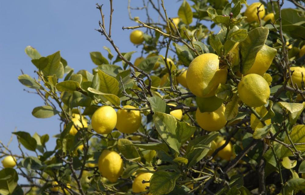costa blanca gastronomia limonero y amarillos limones