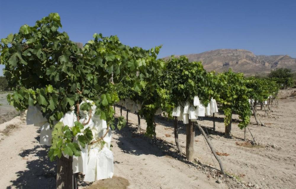 costa blanca novelda uva embolsada del vinalopo