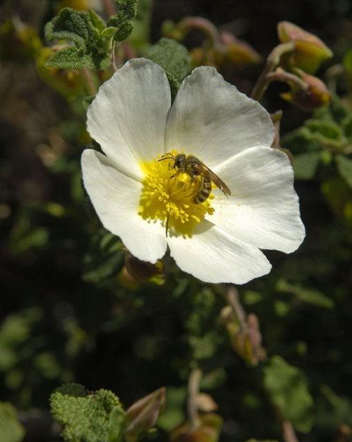 costa blanca sierra helada avispa en flor