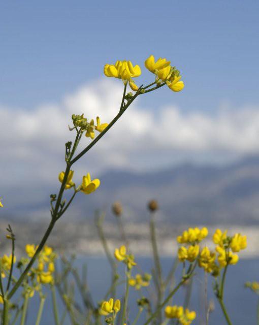 costa blanca sierra helada flores color amarillo