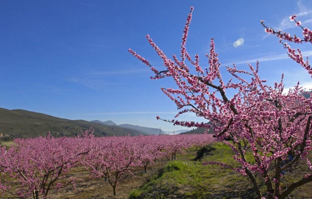 costa blanca sierra mariola arboles del melocotonero rosas en flor
