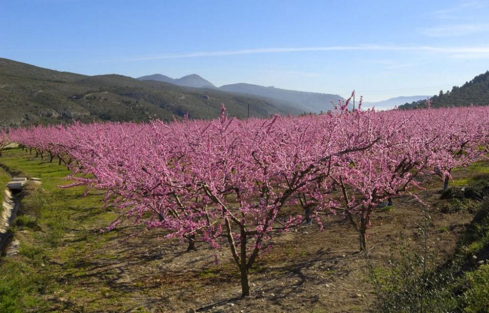 costa blanca sierra mariola melocotoneros preciosos en flor